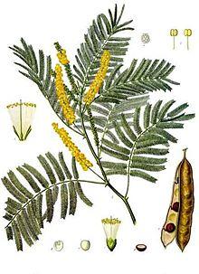 220px-Acacia_catechu_-_Köhler–s_Medizinal-Pflanzen-003